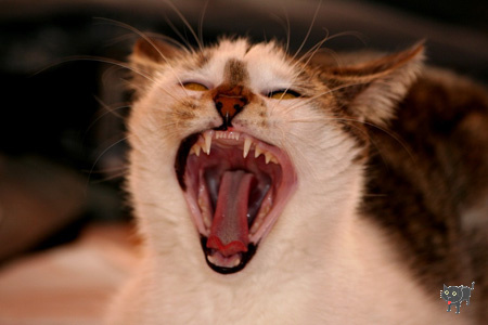 veszett-macska